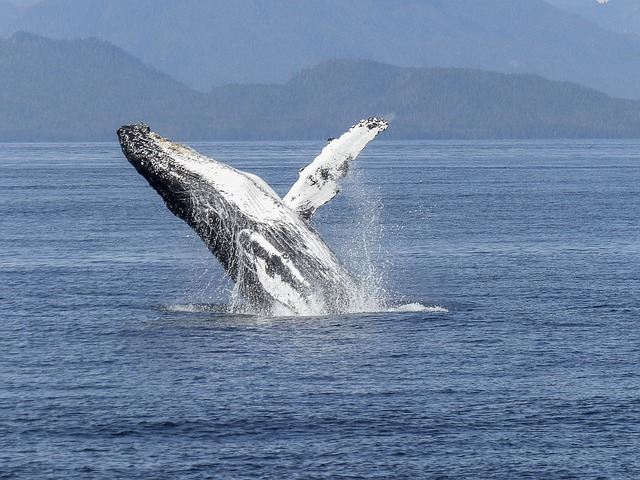 Ancient-Echoes-The-Humpback-Whale2