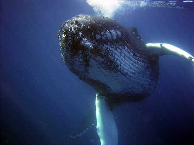 Ancient-Echoes-Whale-Song-whale